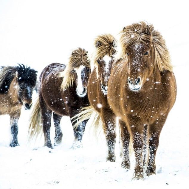 Islandhäst om vinterperioden